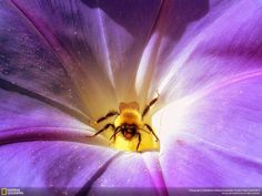 Bee on Flower Nature Wallpapers -   http://pic4wallpaper.blogspot.com/2014/06/bee-on-flower-nature-wallpapers.html