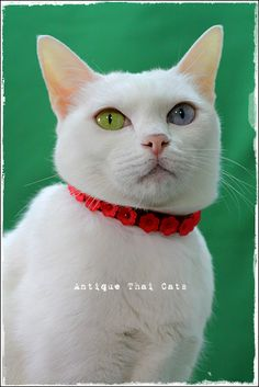 猫首輪 ปลอกคอ แมว cats collar クリスマス คริสต์มาส Christmas カオマニー khaomanee ขาวมณี