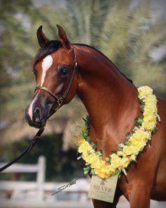 Marami Albidayer, a beautiful Arabian horse