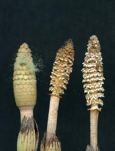 Field Horsetail (equisetum arvense)
