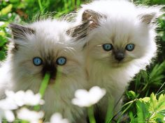 two white persian kittens