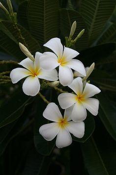 In my backyard. Flower Images, Flower Pictures, Garden Pictures, Flower Art, Plumeria Flowers, Hawaiian Flowers, Tropical Flowers, Flowers Nature, Pretty Flowers