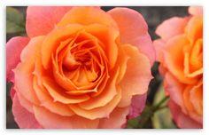 Orange Roses Ultra HD Desktop Background Wallpaper for UHD TV : Widescreen & UltraWide Desktop & Laptop : Tablet : Smartphone Orange Roses, Rose Wallpaper, 4k Uhd, Hd Desktop, Small Flowers, Display, Plants, Wallpapers, Floor Space