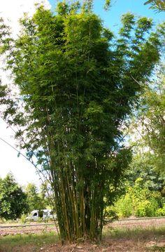 Bambusa Textilis var. gracilis