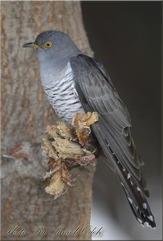 """Common Cuckoo (Cuculus canorus) .... Europe & Asia ..... """"The Cuckoo comes in April, She sings her song in May. In June She Changes her Tune, And July She Flies Way"""" .... Old Nursery Rhyme ...."""