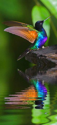 Kolibri spiegelend in het water
