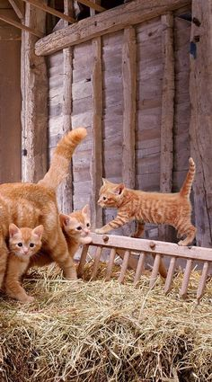 Kittens In Barn Hay Loft