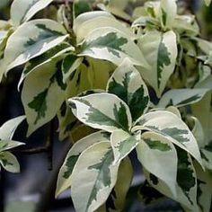 3. Доминика Это также очень «белый» фикус бенджамина, однако, зеленого цвета в листве наблюдается чуть больше, чем у Де Гантель.