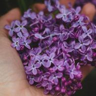 Syringa Vulgaris, Natural Remedies, Diy And Crafts, Cancer, Liliac, Health, Food, Style, Greece
