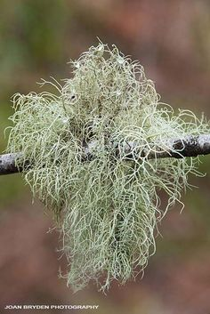 images of old mans beard lichen - Google Search