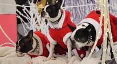 After these 3 Boston Terrier Dogs Slipped on their Santa Claus suit... Watch them Around the City! ► http://www.bterrier.com/?p=27474 - https://www.facebook.com/bterrierdogs