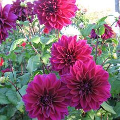 Google Image Result for http://images.quickblogcast.com/113660-106084/Thomas_Edison_Dahlias_Group.jpg