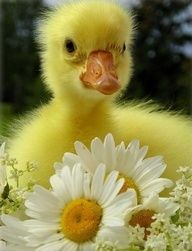 Bright Yellow Fuzzy Baby Duck