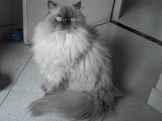 It's a blue point himalayan cat. Himalayan Persian Cats, Himalayan Kitten, Pretty Cats, Beautiful Cats, Colorpoint Shorthair, Purebred Cats, Exotic Cats, Cat With Blue Eyes, Cute Cat Breeds