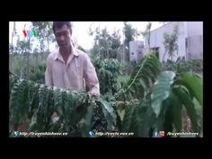 Đắk Lắk: Gói hỗ trợ tái canh cà phê chưa phát huy hiệu quả