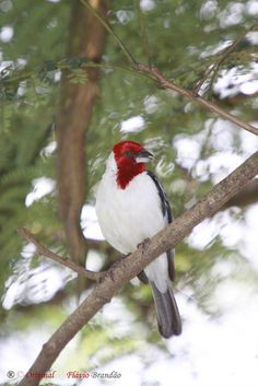 A beautiful Red-Cowled Cardinal (Paroaria dominicana) (member of the Tanager family)
