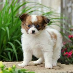 Papillon puppies for sale! These sweet-natured Papillon puppies are intelligent, friendly, and easily trained. Plus, they get along well with children. Pekingese Puppies For Sale, Papillon Puppies For Sale, Papillion Puppies, Papillon Dog, Cute Puppies, Dogs And Puppies, Every Dog Breed, Very Small Dogs, Greenfield Puppies