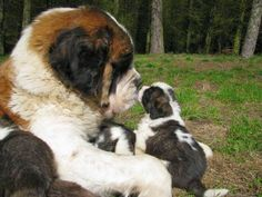 Gaint st bernard and puppy