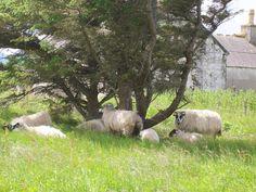 Sheep under a tree.