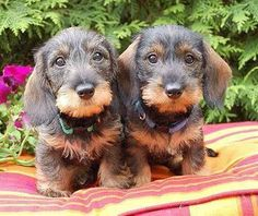 "Visit our internet site for more details on ""dachshund puppies"". It is actually a superb area to get more information. Dachshund Breed, Dachshund Funny, Wire Haired Dachshund, Dachshund Love, Daschund, Fox Terriers, Cute Puppies, Cute Dogs, Dogs And Puppies"