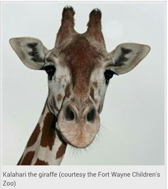 """12.19.14 - Kalahari the giraffe, a longtime resident of the Fort Wayne Children's Zoo, has died, the zoo said on its Twitter account this afternoon.  """"We are saddened to report the passing of Kalahari the giraffe,"""" the tweet said. """"She'll be greatly missed by her keepers and many fans.""""Kalahari, who was about 25 and towered 16 feet above the ground, has lived at the zoo since 2004."""