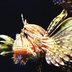 Exótic lion fish