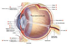 Want to know more about ocular anatomy? Learn about key features of the eye, from the retina to the lens, cornea to optic disc. Eye Anatomy Diagram, Eye Structure, Diabetes, Eye Facts, Arteries And Veins, Medicine Student, The Retina, Eyes, Human Body
