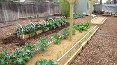 Mittleider Gardening Method: Winter Garden Week 8