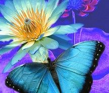 Blue Morpho Butterfly with Lotus / Nancy Flamingo