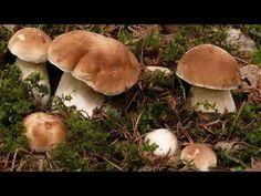 Как вырастить много белых грибов на своем участке - YouTube
