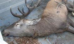 Wilderer erlegten Hirsche im Wert von Euro 13.000,- #jagdwechsel