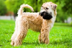 Soft Coated Wheaton Terrier. Such sweet dogs!