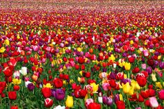 World's Most Surreal Landscapes - Tulip Festival, Woodburn, Oregon, USA.Tulip festivals are not exclusive to the Benelux region. Several are regularly held in North America, mostly in cities with Dutch heritage. In Woodburn, OR, local fields burst in color every spring as numerous varieties are arranged neatly in a new pattern.