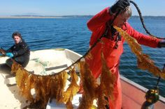 Growing kelp to fight ocean acidification and store carbon. Currently, there isn't a huge market for harvested kelp in the United States, but some companies are trying to change that, touting the benefits of kelp in everything from food to biofuels.
