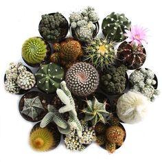 Spikey Cactus Pack — Geoponics Inc All Plants, Cactus Plants, Indoor Plants, House Plants, Indoor Gardening, Purple Succulents, Planting Succulents, Cactus Leaves, Plant Leaves