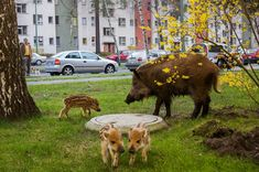 A wild boar and her piglets forage in a garden in Berlin, Germany, home to more than 3,000 of these coarse-haired pigs.