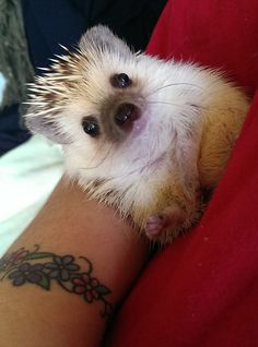 Canned dog or cat food can work well as a hedgehog food. But, you have to ensure that these food are rich in protein and fiber and are primarily made of chicken or other meat. Hedgehog Care, Happy Hedgehog, Pygmy Hedgehog, Cute Hedgehog, Hedgehog Food, Cute Funny Animals, Cute Baby Animals, Animals And Pets, Cat Behavior