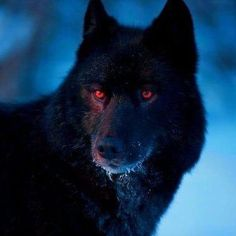 Black Wolf with Red Eyes Demon Wolf Photos, Wolf Pictures, Wolf Love, Beautiful Wolves, Animals Beautiful, Wolf With Red Eyes, Wolf Eyes, Wolf Hybrid, Alpha Wolf