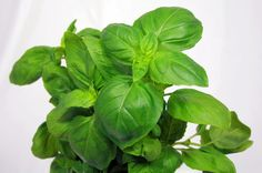 Basil (Ocimum basilicum) is a variable and widely cultivated herb in the mint family that is widely grown for its aromatic leaves. Sweet basil originates in Italy and is an...