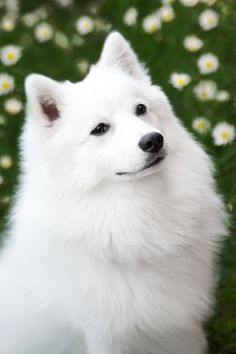 Beautiful Japanese Spitz dog.  Frisky was my beloved childhood baby sitter.