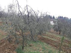 oliveti a Montespertoli