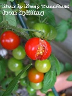 101 Gardening: How to Keep Tomatoes from Splitting #Organic_Gardening