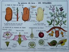 Botanical - Vintage - Large stunning French School Poster - double-sided - The Primrose - The Labiatae - The Potato Permaculture, Vintage Images, French Vintage, Eco Garden, French School, School Posters, Botany, I Shop, Plants