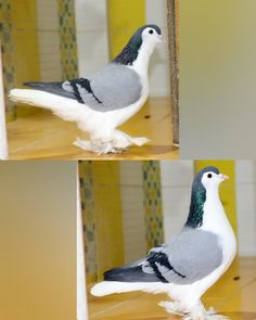 Cute Pigeon, Pigeon Bird, Beautiful Birds, Parrot, Pakistan, Pets, Pigeon, Parrot Bird, Animals And Pets