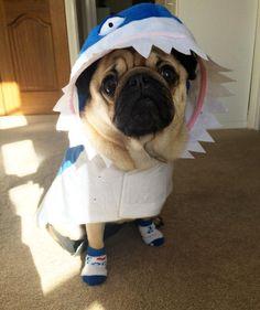 Silly socks shark style in a sunbeam (try saying that quickly!!)  my fundraising for Eating Disorder Awareness Week is going well  #sockittoeatingdisorders #pug #pugs #pugsofinstagram #pugbasement #pugsproud_feature #badasspugclub #bubblebeccahat #cupcake_pug #dailydoseofpugs #eddthepug #flatnosedogsociety #gilesfriends #heyportiapickme #henrys1inamillion #itslolathepug #lolasfotw #lacyandpaws #mysquishyliciousfriends #puglife #speakpug #squishyfacecrew #thetomcoteshow #zerozeropug by…