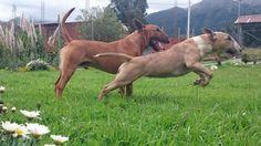 Bull Terrier,  Odín y Gansha.!!!