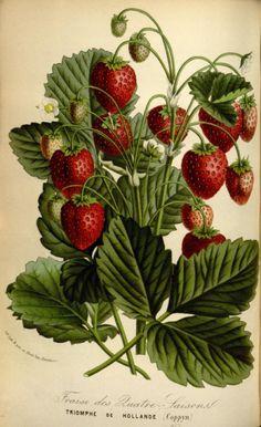 Strawberry (Triomphe de Hollande).Illustration taken from 'Flore...