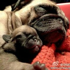 Since Join the Pugs bring the cuteness to Pug lovers all over the world. If you love Pugs. Baby Animals, Funny Animals, Cute Animals, Pug Pictures, Animal Pictures, Pug Love, I Love Dogs, Raza Pug, Amor Pug