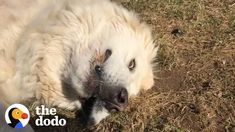 Dog Refuses To Get Inside | The Dodo - AIR.TV Pyrenees Puppies, Great Pyrenees Puppy, Animals Beautiful, Cute Animals, Baby Rhino, Odd Couples, How He Loves Us, Cute Gif, Kitten
