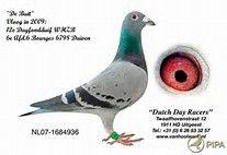pigeon voyageur - Bing Images